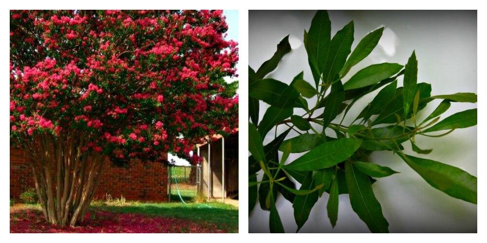 Crape Myrtle & Wax Myrtle, plant names