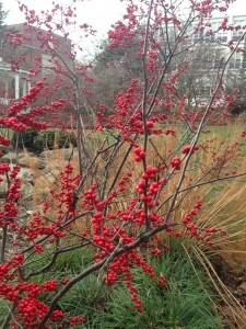 Ilex verticillata, Deciduous Holly, Winterberry Holly, Winter Landscape