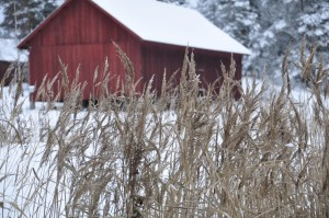 grasses in winter, grasses, winter landscape